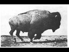 A bison set to motion using photos by Eadweard Muybridge, a pioneer of photography, in the late century. Do you know the difference between bison and buffalo? Kingston, Bison Hunting, Sibylla Merian, Eadweard Muybridge, Run Cycle, Gifs, American Bison, American Indians, American Flag