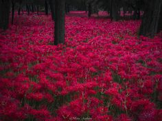Red world - I visited Manjushage Park that has a lot of beautiful spider lilys.  The beautiful scenery will move you. You will find beauty of nature. So beautiful.