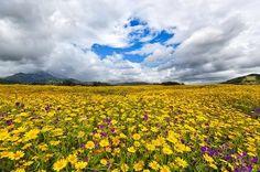Campo di Margherite - Daysy field