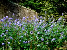 "Monkshood/Wolfsbane/Ranunculaceae:  extremely toxic-handle carefully, seed propagation, sun>pt. sun bloom late summer>fall, 2-4'Hx18""W, deer resistant"