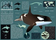 Infographic on Behance Orca - Killer Whale. Infographic on Behance Killer Whale Tattoo, Whale Tattoos, Killer Whales, Orcas, Rare Animals, Strange Animals, Baby Dolphins, Save The Whales, Wale