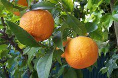 Los naranjos son árboles increíbles: además de ser muy decorativos, sus frutos están deliciosos. Aprende cómo tener una excelente cosecha.