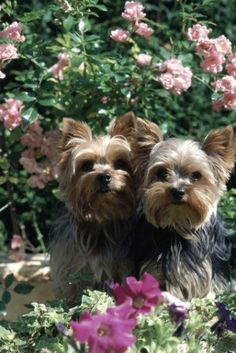 Yorkshire Terrier  The Yorkshire Terrier used to catch rats for workers in the clothing mills of Yorkshire, England in the early 19th century before being discovered by high society at the close of the century and became the family companion we know today.