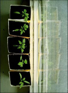 Tomatoe starts #garden