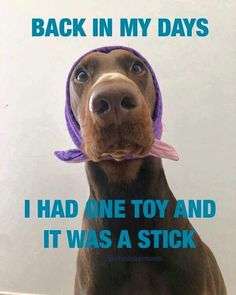 The Doberman Pinscher is among the most popular breed of dogs in the world. Known for its intelligence and loyalty, the Pinscher is both a police- favorite bree Funny Animal Pictures, Funny Animals, Cute Animals, Animal Funnies, Animal Pics, Baby Animals, Funny Dogs, Cute Dogs, Funny Memes