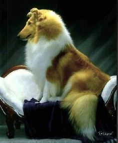 CASTLEBAR COLLIES...AKC breeder rough collies, smooth collies, collie puppies
