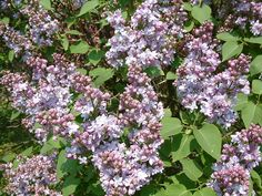 Syringa Vulgaris, Planting Flowers, Plants, Plant, Lilacs, Lilac, Planets
