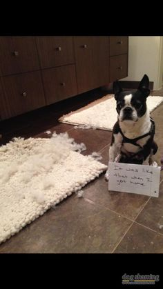 Boston terrier ate a rug