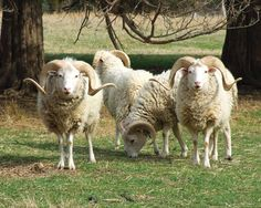 Heritage Meat Sheep Breeds  These self-sufficient heritage meat sheep breeds can provide marketable meat, land management, and maybe even wo...