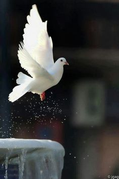 22 white dove flying over troubled waters
