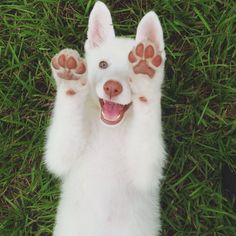 White german shepherd is the cutest puppy from all. Cute Dogs And Puppies, I Love Dogs, Doggies, Rescue Puppies, Baby Puppies, Beautiful Dogs, Animals Beautiful, Cute Baby Animals, Funny Animals