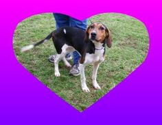 Winnie is an adoptable Hound Dog in Cynthiana, KY. Winnie is a very calm and well behaved girl. She stays curled up in her kennel because she is scared but once the leash is on this sweet girl, she ca...