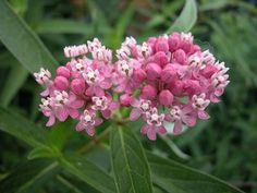 Asclepias incarnataSwamp milkweed (A. incarnata) is a tall plant with fragrant, showy clusters of pink and light purple flowers. It does well in landscape plantings with moist soil and in plantings near bodies of water. Unlike many ornamentals,...