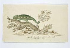 Bradypodion pumilum (Cape dwarf chameleon), Robert Jacob Gordon, 1777 - 1786