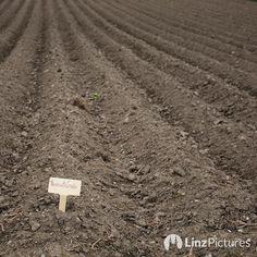 Kartoffeln #makingof  . . . #landwirtschaft #farmlife #farm #potato #pommes #potd #potatoes #linz #igerslinz #plesching #feld #bio #vegan #lowcarb #homegrown #green #backstage #upperaustria #mood #countryside #mud #Mühlviertel #visitaustria #soweitdasaugereicht