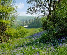 Bluebells On A Hillside At Winkworth Arboretum in Busbridge, England by Beardy Vulcan