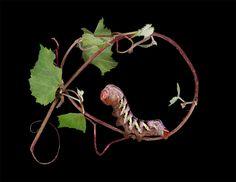 """Father of Monsters"" Eumorpha typhon on arizona grape"