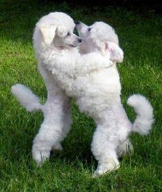 Gorgeous Poodle puppies.... <3