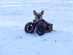 Willa sitting pretty in her Eddie's Wheels front wheel dog wheelchair.