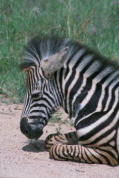 Image result for baby zebras