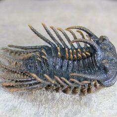 Koneprussia Trilobite