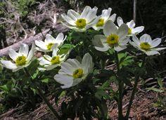 Trollius laxus albiflorus