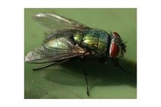 How to Kill Houseflies (without using chemicals) | eHow
