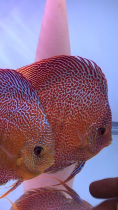 Discus Fish, Aquarium Ideas, Angelfish, Freshwater Aquarium, Aquariums, Fish Tank, Fresh Water, Animals, Beautiful