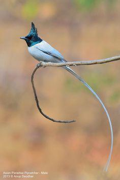 Asian Paradise Flycatcher (Terpsiphone paradisi) Male