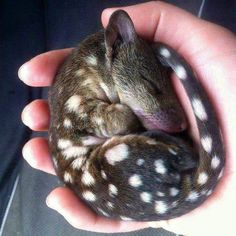 A baby quoll- The quoll is a carnivorous marsupial native to mainland Australia, New Guinea, and Tasmania. It is primarily nocturnal and spends most of the day in its den. Of the six species of quoll, four are found in Australia and two in New Guinea. Rare Animals, Unique Animals, Animals And Pets, Funny Animals, Newborn Animals, Cute Baby Animals, Cutest Animals, Animal Babies, Beautiful Creatures