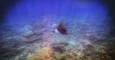 Eagle ray @ladyelliotislandecoresort. Unfortunately not a very clear shot but I like it anyways ; -) #seeaustralia #thisisqueensland #greatbarrierreef #southerngreatbarrierreef #visitqld #frasercoast #ladyelliotisland #underwaterphotography #underwaterlife #eagleray #lovingtheocean #lovinglife #underwaterworld #seacreature #sealife #snorkelling by madeleinejirse http://ift.tt/1UokkV2