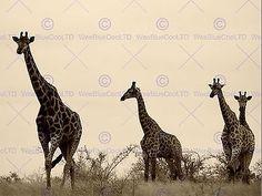 PHOTOGRAPH NATURE ANIMAL WILDLIFE AFRICA GIRAFFE GROUP POSTER ART PRINT BB12275B
