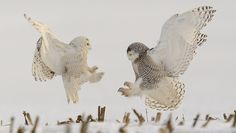The record-setting number of snowy owls that trekked south for the winter has been a boon for birders and photographers. Larry Keller's images capture the species at its best.