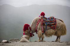 Save the ecology of Tibet. Tibet is not China. Rare Animals, Animals And Pets, Funny Animals, Yak Image, Tibet, Live Action, Beautiful Creatures, Animals Beautiful, Himalaya