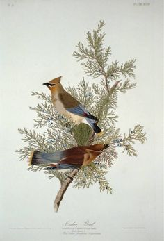 """Cedar Waxwing: The Birds of America by John James Audubon. 4 vols. Vol. II, Pl. 128. London, 1827-1838, (Elephant Folio), From the John James Audubon """"Bird's in America Collection"""" in the Rare Book and Special Collections Division at the Library of Congress. For the full work see:  http://hdl.loc.gov/loc.pnp/cph.3b52222"""