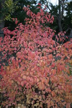 Native: For wetter soils you might also try Virginia sweetspire (Itea virginica), which has stunning red foliage in autumn and white bottlebrush blooms in summer. It's native from the Great Lakes region south to Texas and east.