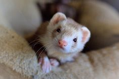 Health Tips For New Ferret Owners