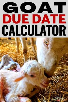 Is it breeding season in your goat herd? Make sure you know your goat's due date by using this goat gestation calculator so you can be prepared for kidding this spring! Mini Goats, Baby Goats, Due Date Calculator, Care During Pregnancy, Pregnancy Progression, Goat Care, Nigerian Dwarf Goats, Raising Goats