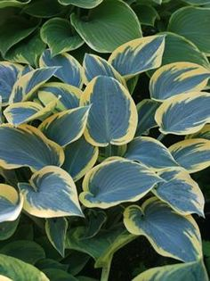 First Frost Hosta from NH Hostas