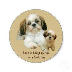 Shih Tzu Dogs