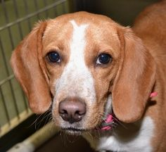 STILL AVAILABLE***Noel is an adoptable Beagle Dog in Independence, MO. Noel is a playful girl who LOVES her toys; squeaky or stuffed, she wants them all. She enjoys the company of other dogs and loves people. Noellik...