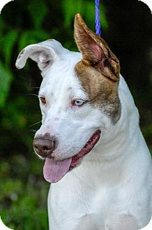 Pictures of blu a Pit Bull Terrier Mix for adoption in Johnson City, TN who needs a loving home.