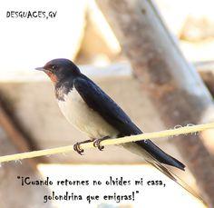 La golondrina común es una especie de ave paseriforme cuya familia es Hirundinidae; es el ave migratoria más conocida del planeta.