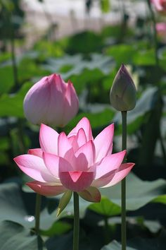 Free Image on Pixabay - Kite, Lotus, Nature, Flowers