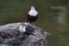 Karen Miller Photography posted a photo:  Dippers on the White Cart, Linn Park