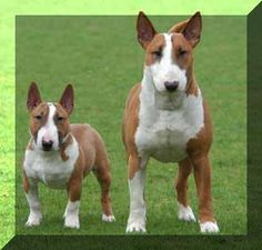 miniature bull terrier vs standard - Google Search