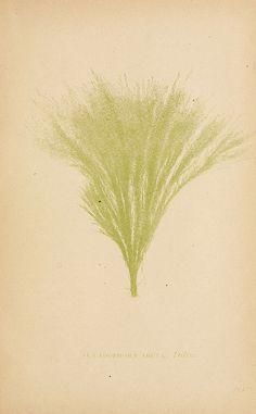Sea mosses  Boston,B. Whidden,1893.