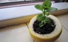 Each time you eat citrus, start growing a plant in the rind! Use a lemon, orange or a grapefruit to start your seedlings. Plant the entire thing in the ground and the peels will compost directly into the soil to nourish the plants as they grow. My Secret Garden, Seed Starting, Garden Inspiration, Gardening Tips, Beginners Gardening, Organic Gardening, Vegetable Gardening, Flower Gardening, Container Gardening