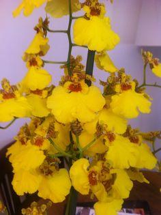 Oncidium Pluie d'Or Orchids, Beautiful, Rain, Plants, Orchid