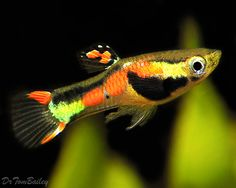 Endler's Livebearers- beautiful little fish closely related to the well known guppy.
